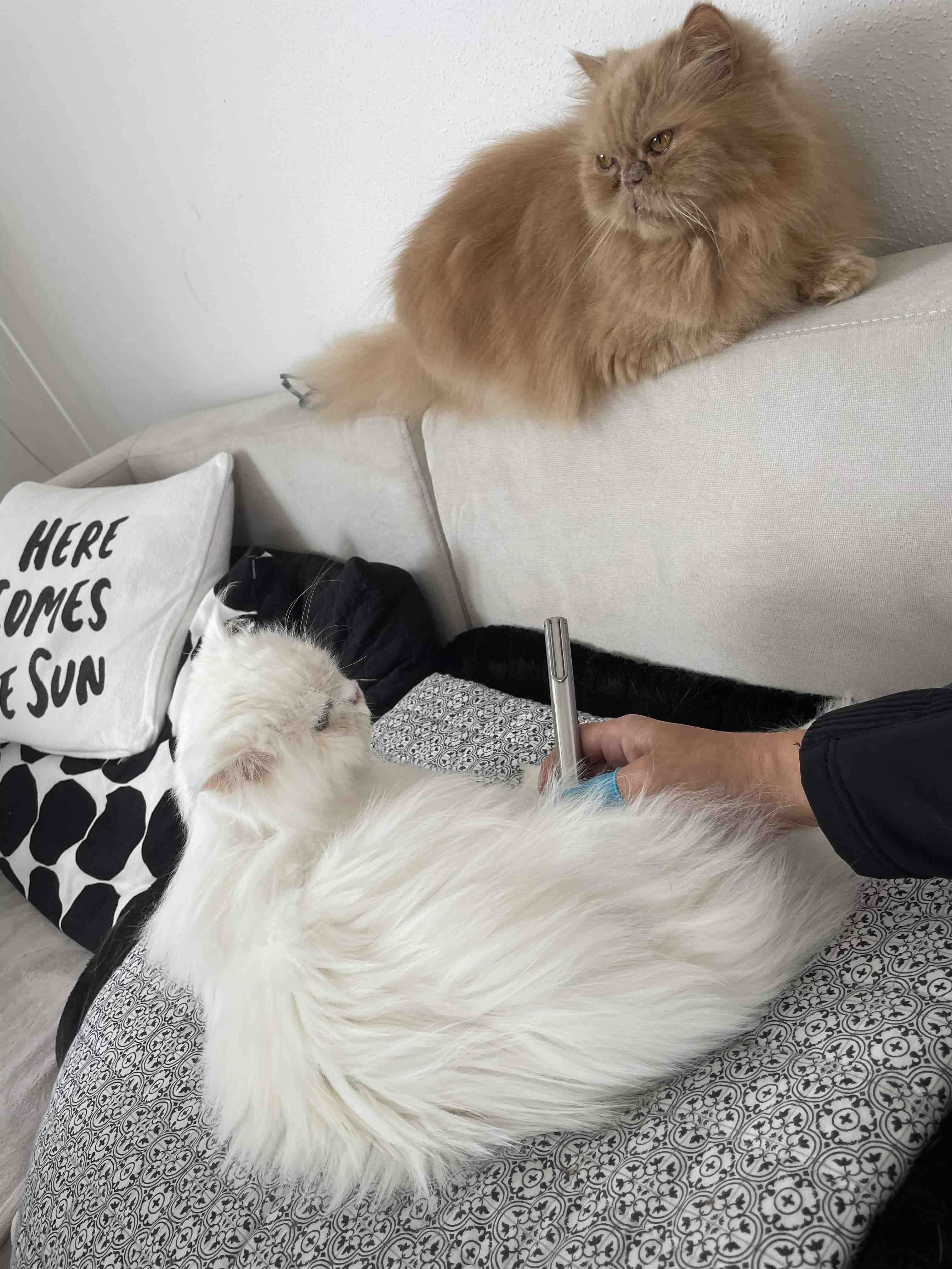 Lasertherapie Katze